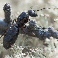 Обыкновенный муравей(черный). :: Юрий Харченко