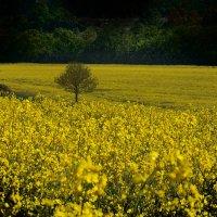 Рапс цветет... Поля картами желтыми смотрятся :: Лара Leila