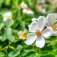 Белые розы :: Андрей Куприянов