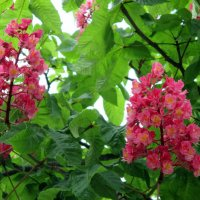 Каштаны цветут :: Наталья Пономаренко