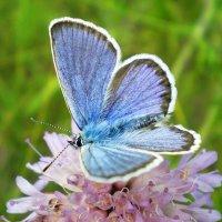 Бабочка Голубянка :: Эля Юрасова