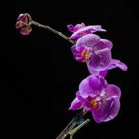 Орхидея :: Vladimir