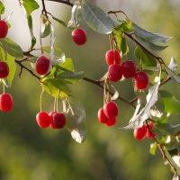 Сахалинская вишня - гуми :: Елена Ахромеева