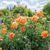 Розы :: Valdis Veinbergs