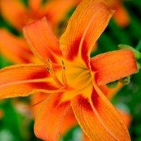 цветочный огонек лилейника :: Мария Климова