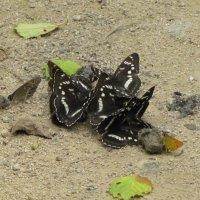 и кто сказал, что бабочки едят только нектар?? :: doberman