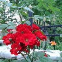 Красная роза :: Марина Мамзина (Калета)