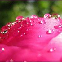 Цветок и капелька :: Владимир Гилясев