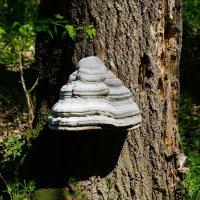 Большой гриб :: Игорь Сикорский