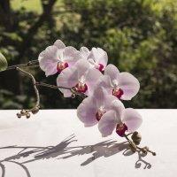 Орхидея Фаленопсис :: Aнна Зарубина