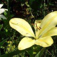Лилии в июне... :: Тамара (st.tamara)