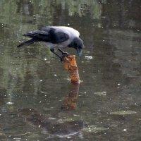 Ворона смотрит на своё отражение :: Алексей Корнеев