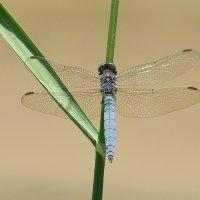 С прозрачными крыльями :: Swetlana V