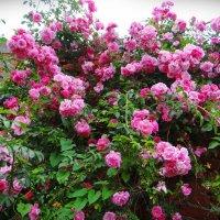 Плетистая роза. :: Антонина Гугаева