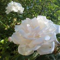 Белая роза :: Анастасия Орлова
