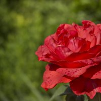 роза :: Ирина Герасименко (Новикова)