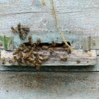 Пчёлы :: Вера Щукина