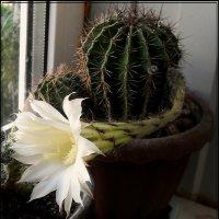 цветение кактуса :: victor leinonen