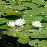 Белые лилии. :: Чария Зоя
