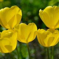 Желтые тюльпаны :: Константин Жирнов