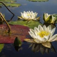Lilies :: Андрей Дворников