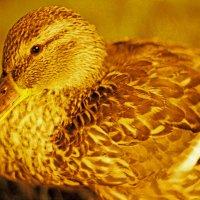 Золотая утка :: Reval Fomichev