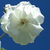 "Rosa floribunda"" Iseberg"" :: Swetlana V"