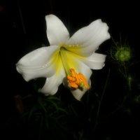 белая  лилия :: неля  тулузова
