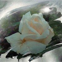 Белая роза :: Svetlana27