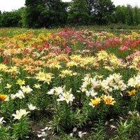 Лилии в ботаническом саду :: super-krokus.tur ( Наталья )