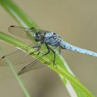 Стрекоза- изумрудные глаза :: Swetlana V