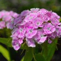 Цветы в нашем саду (этюд 7) :: Константин Жирнов