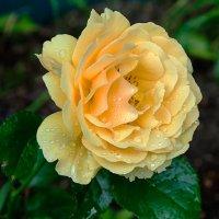 как хороши, как свежи были розы 4 :: Galina