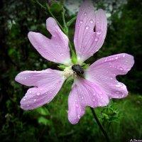 На цветке просвирника лесного :: Андрей Заломленков