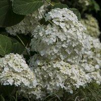 Белые цветы. :: Яков Реймер