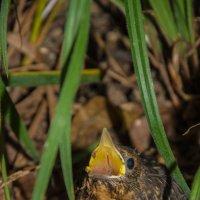 Голодная пташка :: Kasatkin Vladislav