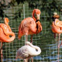 розовый фламинго :: Евгения Вахнеева
