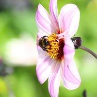 """""""Раз пчела в тёплый день весной, свой пчелиный покинув рой...""""© :: Мария Синельникова"""