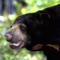 Удивлённый медведь :: Евгений Печенин
