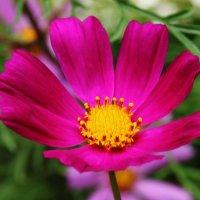 Самый летний цветок :: Damir Si