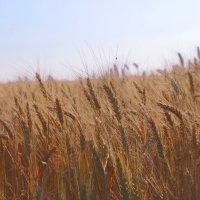 Пшеница :: Виктория Гончаренко