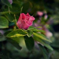 Дикая роза :: Елена Третьякова