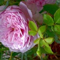 Розовая роза :: Наталья (Nata-Cygan) Цыганова