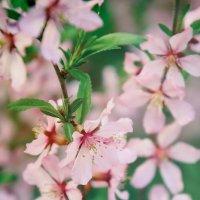 Нежные цветы :: Ксюша Забуга