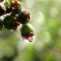 Яблоки после дождя :: Zifa Dimitrieva