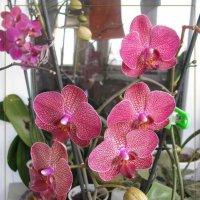 Moi Orchidei :: maxim