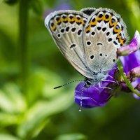Голубянка на горошке :: Анатолий Иргл