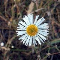Солнечный цветок :: Сергей Тарабара