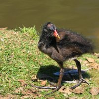 Камышница, болотная курочка (птенец). :: nikolas lang