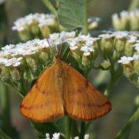 Бабочка на тысячелистнике :: Виктория Стукалина